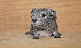 guinea-pig-912988_960_720