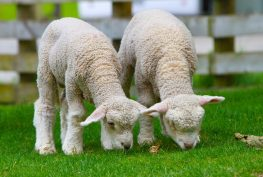 sheep-50914_960_720