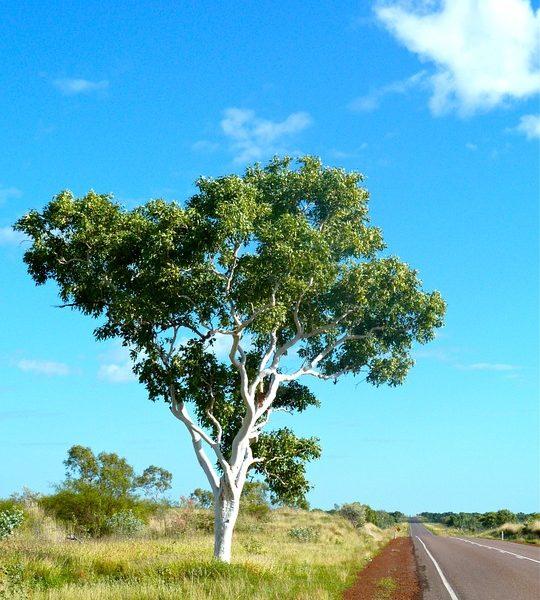 eucalyptus-389045_960_720